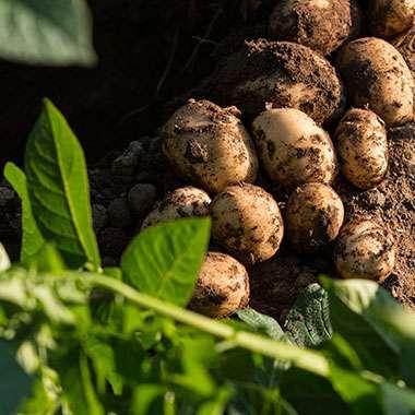 2-potatoes-380x380